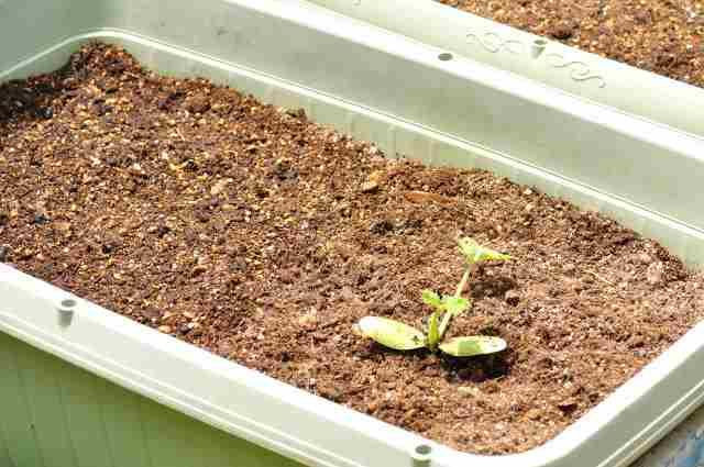 ズッキーニのプランター栽培