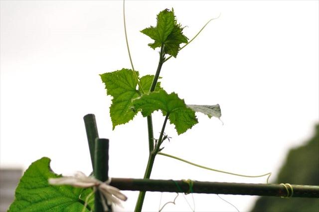 きゅうりの摘芯