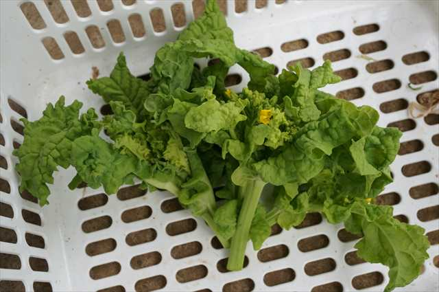 栽培 春 野菜
