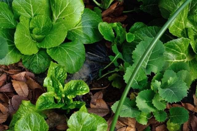 白菜とリーフレタス