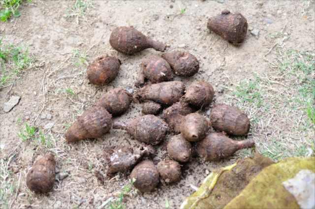 サトイモヤツガシラ種芋