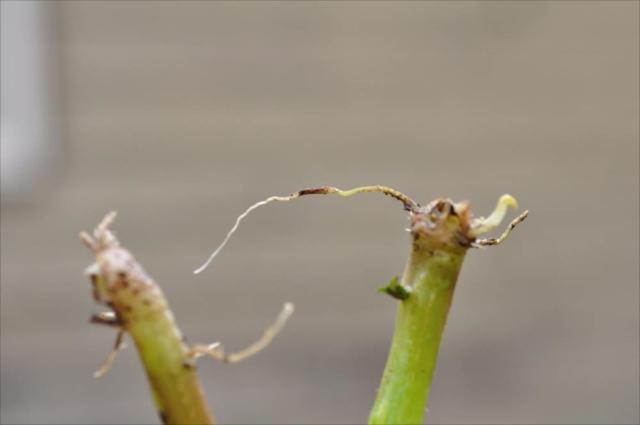 ジャガイモの差し穂