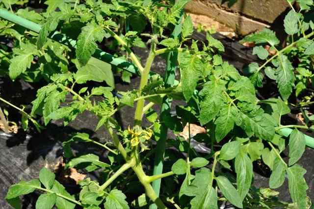 トマト肥料過多