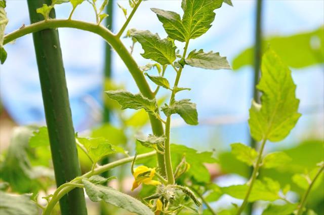 トマト肥料不足