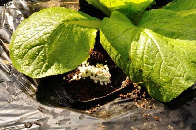 白菜の追肥