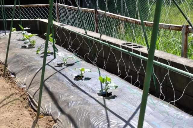 エンドウ 菜園 スナップ 家庭