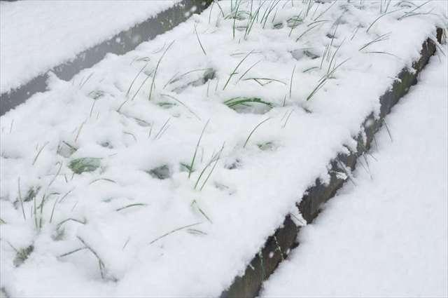 ラッキョウ積雪