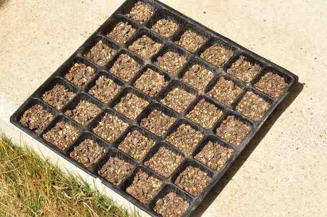 トウモロコシの種まき