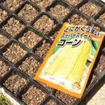 トウモロコシ種まき